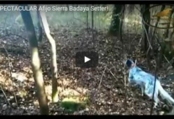 ¡ESPECTACULAR Afijo Sierra Badaya Setter!