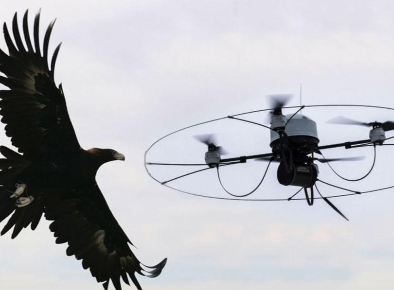 Águilas contra drones. Fuerza de la Naturaleza contra Tecnología.