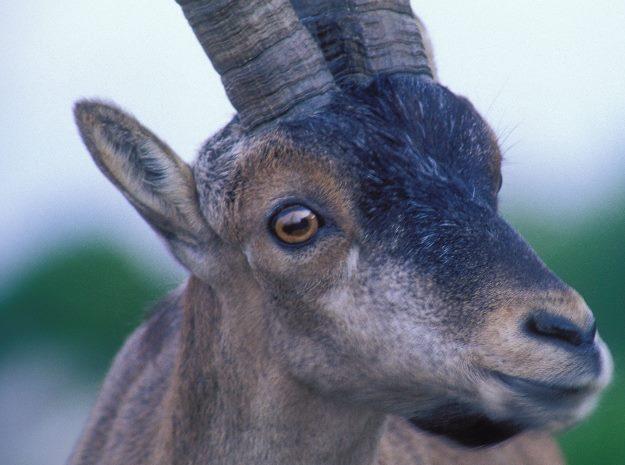 Cazadores de la Montaña de Riaño (León) denuncian que la sarna está mermando las especies cinegéticas