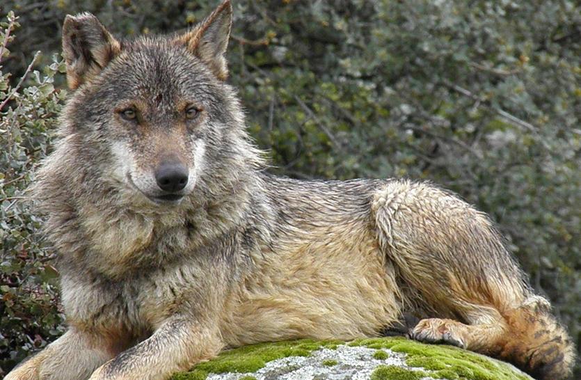 Tribunal de Justicia de la UE abre la puerta al control del lobo