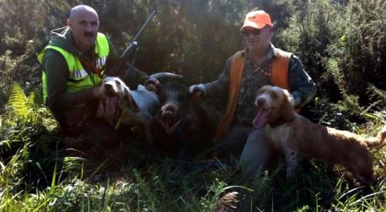 115 kgs de jabalí cazado en Bergara