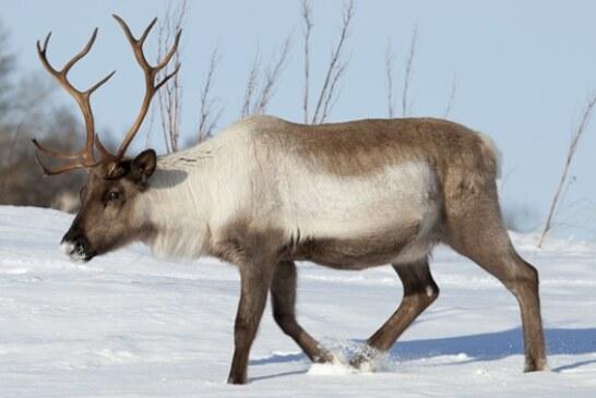 El deshielo descongela un reno enfermo de antrax y contagia a animales y pastores en Siberia