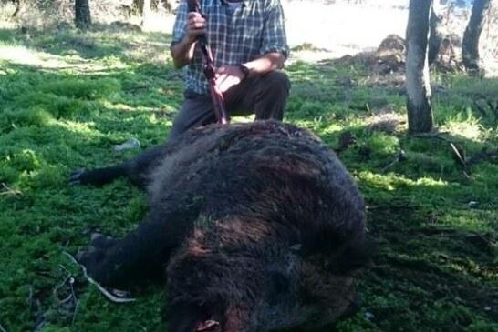 En Navarra capturan un increíble jabalí de 150 kgs