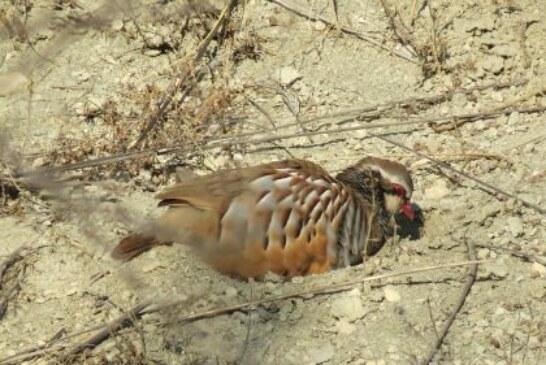 La Oficina Nacional de la Caza reclama que la nueva PAC incluya medidas que la hagan compatible con la recuperación de la fauna menor