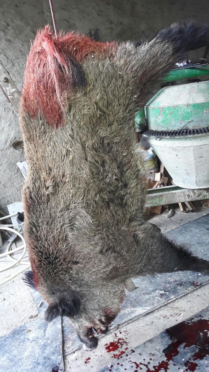 Gran ejemplar de jabalí en Mendiola (Alava)