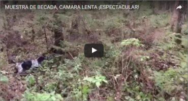MUESTRA DE BECADA, CÁMARA LENTA ¡ESPECTACULAR!