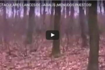 ESPECTACULARES LANCES DE JABALÍS ¡MENUDOS PUESTOS!