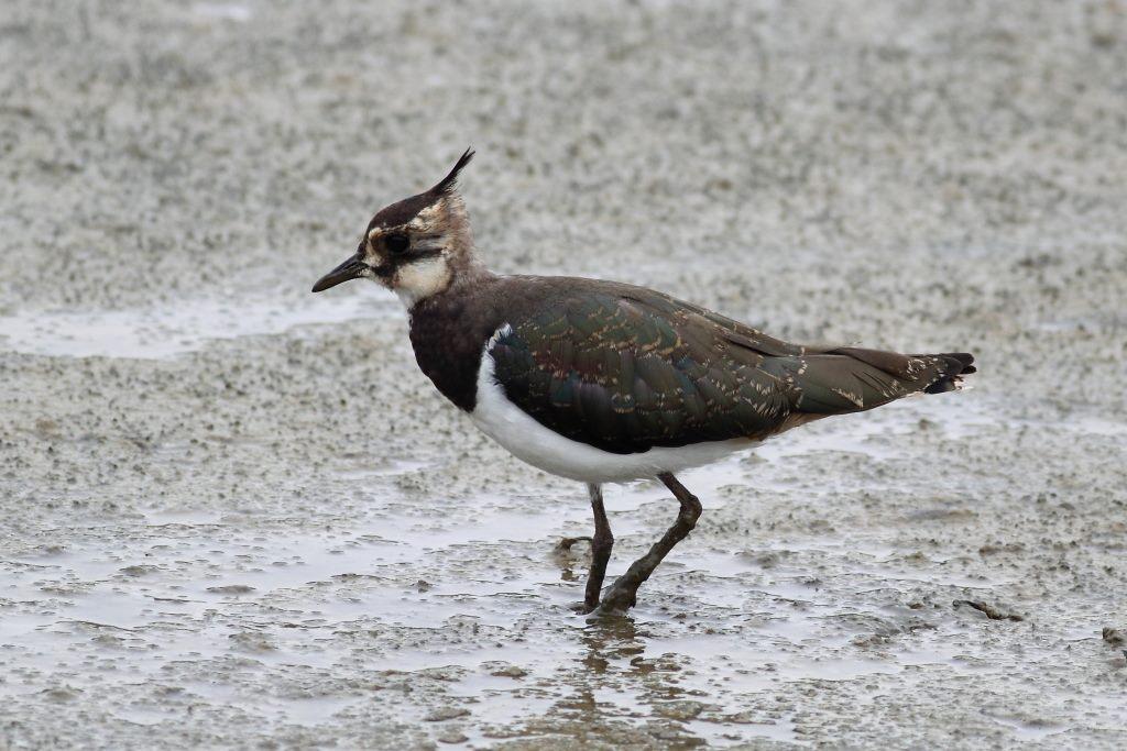 Color del plumaje o forma del pico y el móvil nos dice de que especie de ave se trata