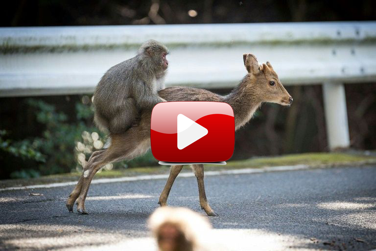 Un mono y una cierva, grabados en una inusual actitud sexual