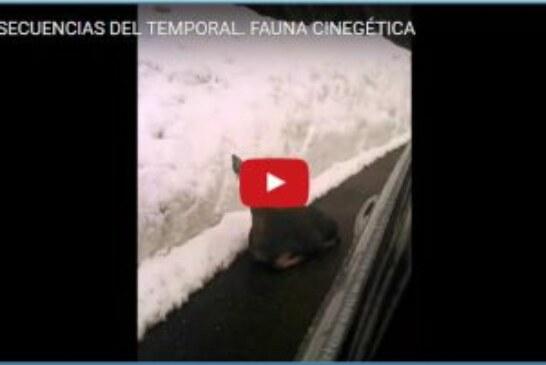 CONSECUENCIAS DEL TEMPORAL. FAUNA CINEGÉTICA