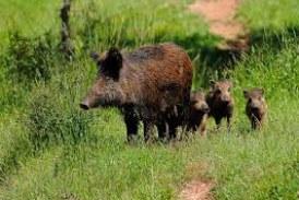Cazadores de Gipuzkoa quieren llamar la atención sobre el crecimiento de la población de jabalíes y corzos en los diferentes montes de la comarca.
