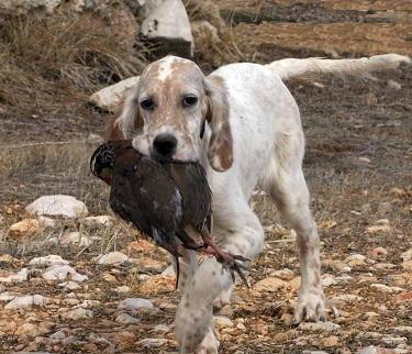 Colectivos y federaciones desmienten tajantemente que haya un abandono masivo de perros de caza al finalizar la temporada
