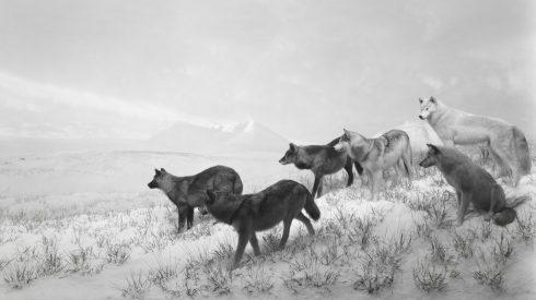 Orín de lobos de Alaska para evitar accidentes de tráfico en Cantabria