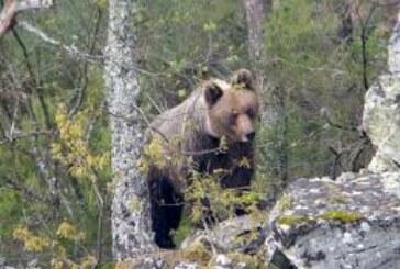 Jornadas en Asturias para aprender a «convivir» con los osos