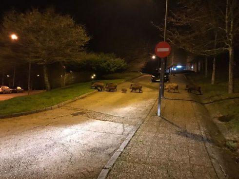 Una manada de jabalíes se pasea por el campus de Santiago de Compostela