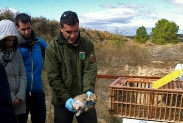 La gestión del conejo en Navarra, clave para el ecosistema
