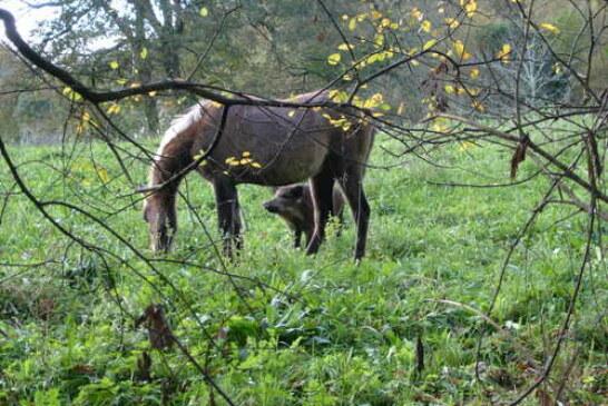 El Gobierno de Cantabria permitirá cazar más jabalíes en cotos costeros esta temporada