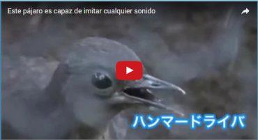 Este pájaro es capaz de imitar cualquier sonido