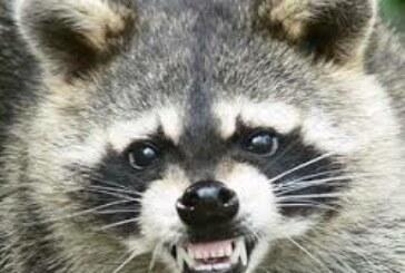 Los mapaches ya están en Galicia