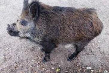 La presencia de 'cerdolís' en Navarra supone un peligro para la calidad genética de los jabalíes autóctonos