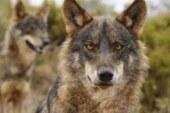 La Fundación Artemisan considera acertada la actual Estrategia Nacional de Conservación del Lobo Ibérico