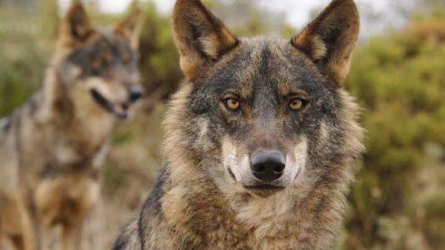 La Fundación Artemisan defiende el sistema actual de gestión del lobo que avala el crecimiento del censo de la especie