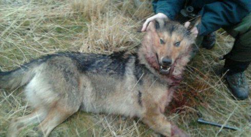 Continúa la polémica con la caza del lobo en Cantabria