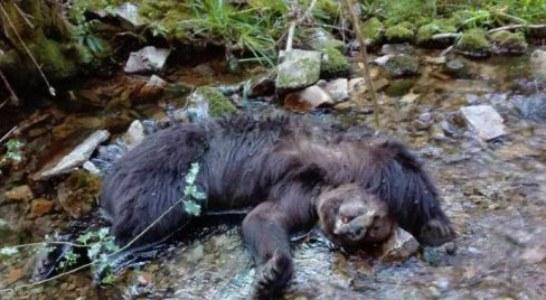 Extrañeza en Cangas del Narcea por el hallazgo de dos osos muertos en un río