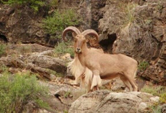 La Fundación Artemisan solicita la descatalogación inmediata del arruí como especie invasora