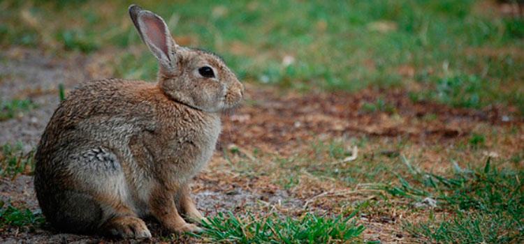 Denunciado un cazador furtivo por capturar conejos para venderlos a coto caza