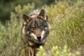 COAG  tacha de «miseria» cazar solo 45 lobos en Asturias