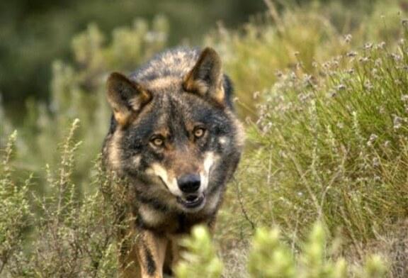 Cantabria recula y seguirá permitiendo cazar lobos