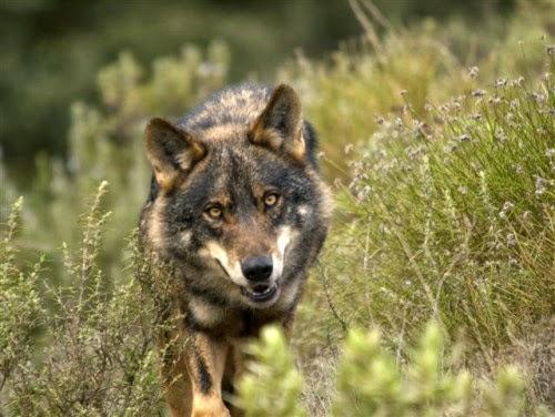 """Burgos: Los ganaderos de Las Merindades se sienten """"desprotegidos"""" frente al lobo"""