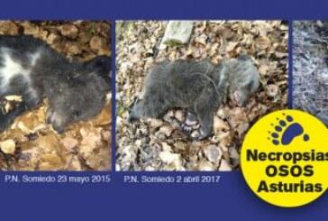 El Principado de Asturias avanza los resultados de las necropsias de tres osos muertos en su territorio