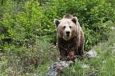"""Cantabria: Fundación Oso Pardo denuncia prácticas de caza """"incompatibles"""" con la conservación del oso"""
