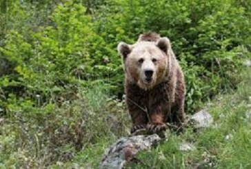 Hay que evitar que el oso se acostumbre a estar con el hombre