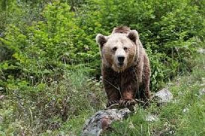 La población de osos pardos cantábricos está experimentando un crecimiento sostenido en Castilla y León