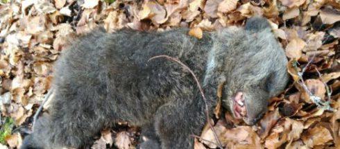 Encuentran un osezno de tres meses muerto en Somiedo (Asturias)
