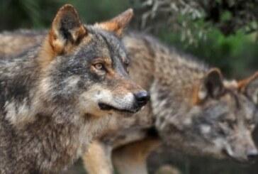 El lobo de Monegros llegó hasta Aragón desde Italia vía Cataluña