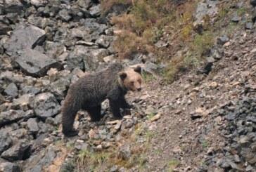 La convivencia del oso pardo y los cazadores da excelentes resultados