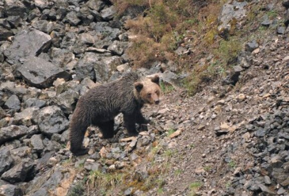 Genética para elaborar el censo de osos