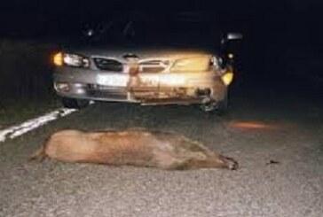Navarra: Se disparan los accidentes con jabalíes. Cinco atropellos en menos de una hora