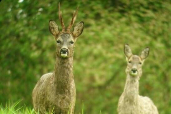 El plan anual de la reserva del Saja prohíbe la caza del corzo