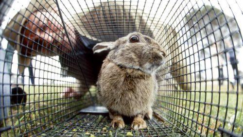Australia libera un virus letal para arrasar sus poblaciones de conejos. ¿Cuanto tardará en llegar a la Península Ibérica?