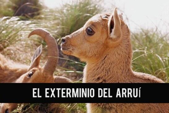 La presión de la Fundación Artemisan y otras organizaciones afines puede frenar el exterminio del Arruí