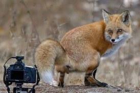Foto del Día: Raposo