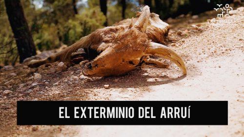 La Fundación Artemisan califica de irresponsables a Equo y a los grupos ecologistas que se posicionan a favor del exterminio del arruí
