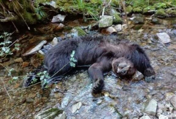 Asturias: La necropsia revela que los osos de Combo murieron al despeñarse tras una pelea