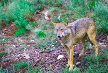 La Junta autoriza la caza de 51 lobos en la provincia de León esta temporada