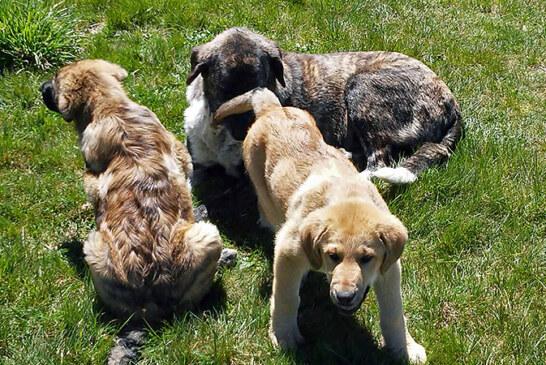 UNITEGA valora negativamente las ayudas para prevención de daños del lobo y jabalí